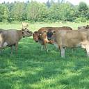 Fotomodellen onder de koeien