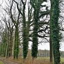 Reactie klimop bomen Papenallee