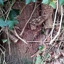 Klimop in de bomen