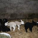 Een schapenzesling bij Erve Meijerink