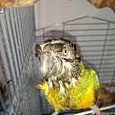 Bonte boer papegaai weggevlogen (update)