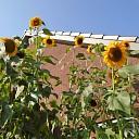 Recordhoogte zonnebloem