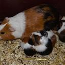 Jonge cavia's geboren op Natuurboerderij Lindehoeve.