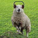 Ik droom van schapen zonder oordoppen
