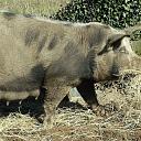 Bij de Panhof krijgen ze er juist varkensruggen bij