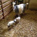 Weer twee geitjes geboren op de Lindehoeve