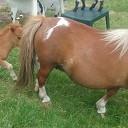 Veel belangstelling voor ini miny pony