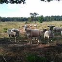 Prachtig mooi nieuws: Weer schapen op het Rechterense veld