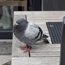 Vermoeide duif