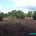 Nieuws van de boswachter: Heide Rechterense veld zeer vitaal