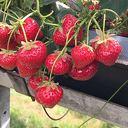 Zelf aardbeien plukken