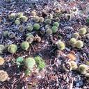 Herfst: De tamme kastanjes, ze zijn er weer