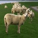 Vee, met name schapen moeten van de dijken
