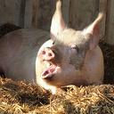 Eikels gevraagd voor varkens