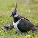 Hulp gevraagd weidevogels in Overijssel