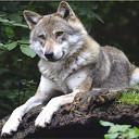 Wolf gespot in Hessum