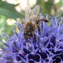 Help de bijen met Hessum Stroomt