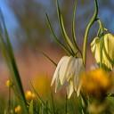 Kievitsbloemen in volle bloei