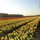 Tulpen aan de Hessenweg