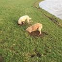 Gravende honden maken dijken kapot