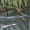 Otter geeft show in tochtsloot