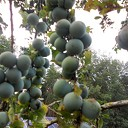 Heel veel fruit dit jaar