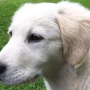 Weggelopen pup golden retriever  (update) is weer terecht!