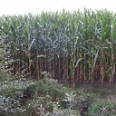 Mais groeit als kool