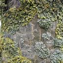 Provincie Overijssel brengt korstmossen in kaart