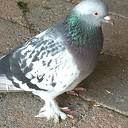 Wie mist een duif?