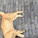 Dode rode kat