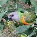 Papegaai vogel gevonden