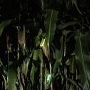 Lichtjeszoektocht in donker maïsdoolhof