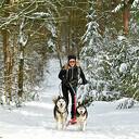 Met Siberische husky's op de stepslee door het Sterrebos