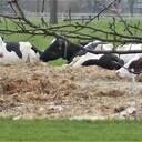 Koeien op matrassen aan het zonnebaden?