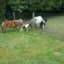 Ini Miny pony krijgt nu zelf een veulentje