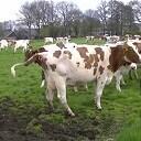 Koeien van Wennemars voor het eerst in de wei (2013)