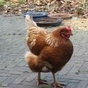 Wie is er een kip kwijt?