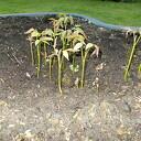 De eerste walnotenboompjes komen tot leven