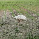 Witte Nandoe gespot