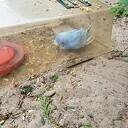 Blauw/witte parkiet aankomen vliegen in Ankum