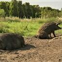 Rondleiding tijdens weekend van het varken