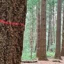 Waarom worden er veel naaldbomen gekapt in Dalfsen