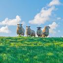 Tot voorjaar geen schapen meer op de dijken